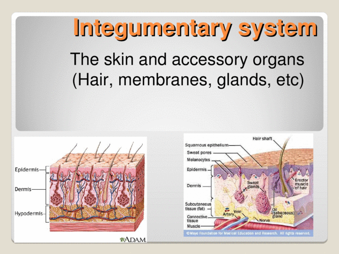 Integumentary system The skin and accessory organs (Hair ...